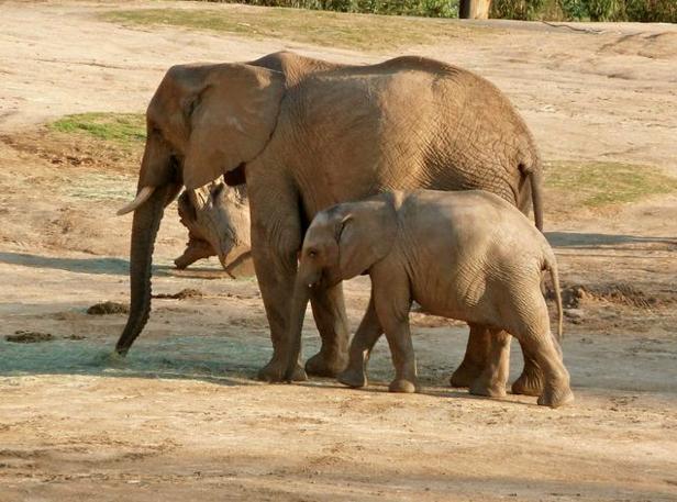 San Diego Safari Park Elephants