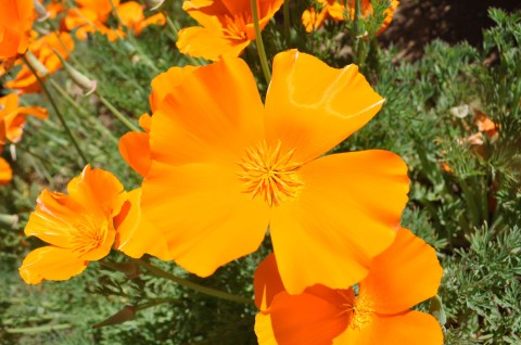 California Poppy - Simple Sojourns