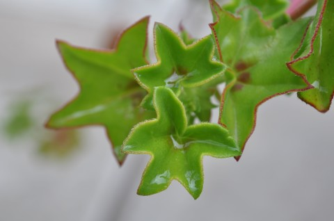 Star Succulent - Simple Sojourns