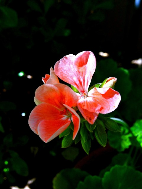 Coral Geranium - Simple Sojourns