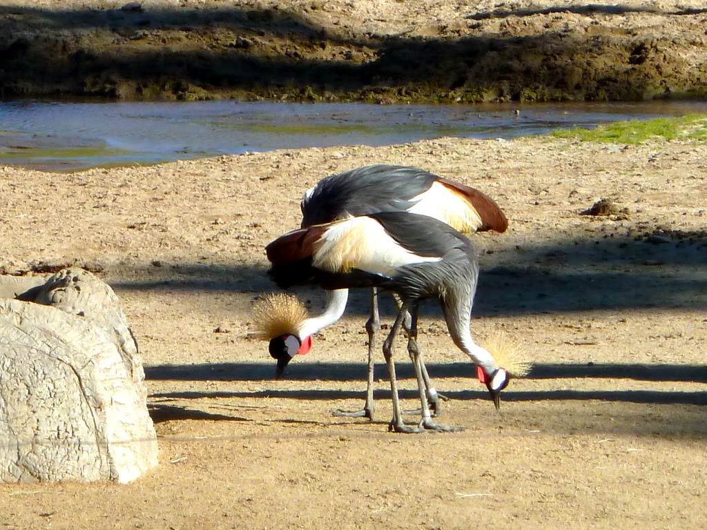 Safari Park Crowned Cranes
