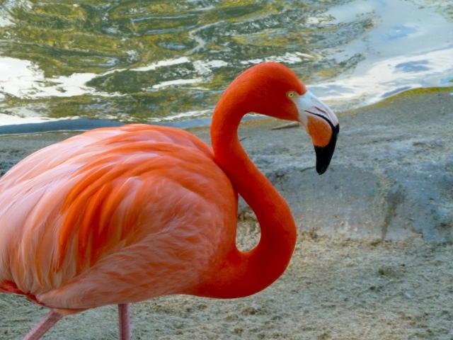 San Diego Zoo Flamingo - Simple Sojourns 2