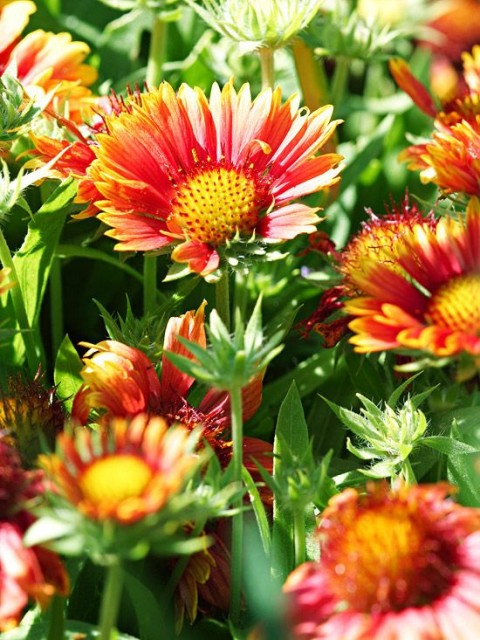 Drought Tolerant Blanket Flower Perennials