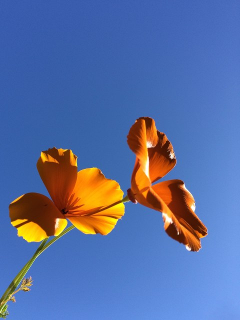 California Poppy - Simple Sojourns
