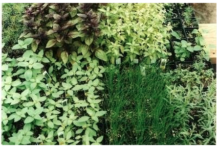 Kitchen Herb Plants - Simple Sojourns