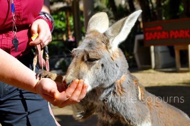 Safari Park Ruby the Kangaroo - Simple Sojourns