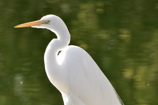 San Diego Safari Park Egret - Simple Sojourns